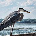 Blue Heron 1 by Susan Cliett
