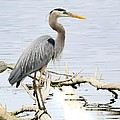 Blue Heron 2 by Richard Oliver