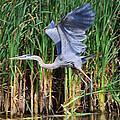 Blue Heron by Eugene Gabry