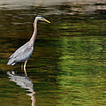 blue Heron fishing by Greg Horler