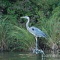 Blue Heron by Grace Grogan