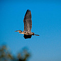 Blue Heron In Flight by Sean Wray
