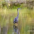 Blue Heron by Jack Schultz