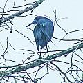 Blue Heron by Lizi Beard-Ward