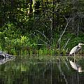 Blue Heron Long Pond Wmnf by Benjamin Dahl