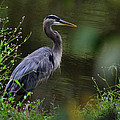 Blue Heron Observing Pond - 6955k by Paul Lyndon Phillips