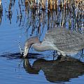 Blue Heron Splash by Rick Mann