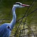 Blue Heron Vondelpark Amsterdam by Benjamin Dahl