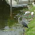 Blue Heron With Ibis by Debbie Wassmann