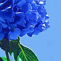 Blue Hortensia Hydrangea by Kathy Clark