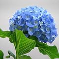 Blue Hydrangea by Angie Vogel