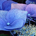 Blue Hydrangea. by Terence Davis