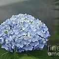 blue Hydrangea by Yumi Johnson