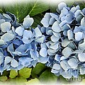 Blue Hydrangeas With Watercolor Effect by Rose Santuci-Sofranko