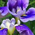 Blue Irises by Deborah  Crew-Johnson