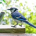 Blue Jay by Debbie Portwood