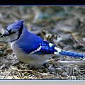 Blue Jay by Donna Bentley
