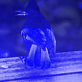 Blue Jay Has The Blues by Kym Backland