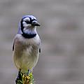 Blue Jay In The Pine by LeeAnn McLaneGoetz McLaneGoetzStudioLLCcom