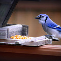 Blue Jay On Backyard Feeder by Kay Novy