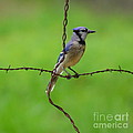 Blue Jay On Crossed Wire by Robert Frederick