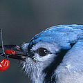 Blue Jay by Photo Researchers, Inc.