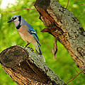 Blue Jay by Sarah Broadmeadow-Thomas