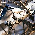 Blue Jay Staying Warm by Edward Peterson