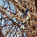 Blue Jay Thinking by Edward Peterson