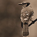 Blue Jay by Todd Hostetter