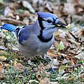 Blue Jay With A Piece Of Corn In Its Mouth by Lori Tordsen
