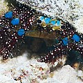Blue-knee Hermit Crab by Georgette Douwma