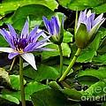 Blue Lilies by Nick Zelinsky