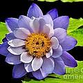Blue Lily by Nick Zelinsky