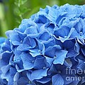 Blue Madeira Hydrangea by Patricia Land
