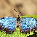 Blue Morpho Butterfly  by Michal Boubin