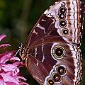 Blue Morpho Butterfly On Flower by Natural Selection Ralph Curtin