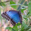 Blue Morpho by Don Downer