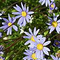 Blue Mums by M S