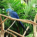Blue Parrot by Suzanne  McClain