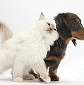 Blue-point Kitten And Dachshund Pup by Mark Taylor