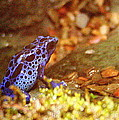 Blue Poison Dart Frog by Laurel Talabere