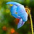 Blue Poppy Dreams by Byron Varvarigos