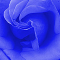 Blue Rose by Robyn Stacey