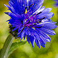 Blue Single Cornflower by Michael Goyberg