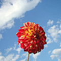 Blue Sky Nature Art Prinst Red Dahlia Flower by Baslee Troutman