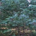Blue Spruce by Jayne Kerr