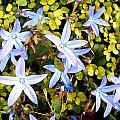 Blue Star Flowers by Elaine Plesser