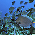 Blue Tang Surgeonfish by Georgette Douwma
