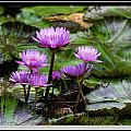 Blue Tropical Water Lilies by Farol Tomson